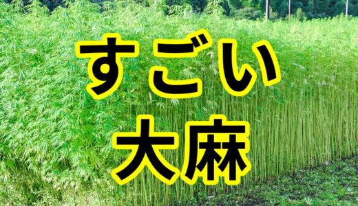 大麻は危険ではない。衣服、食用、医療にも使え依存度も少なく、実は日本の皇室と神社の伝統を支える優れた存在である。